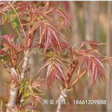 淮安市香椿苗怎么種植超低價廠家直銷種植技術指導圖片