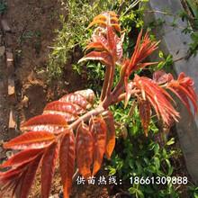 桂林市香椿苗栽培种植技术免费提供技术基地图片