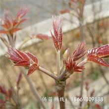 无锡市香椿苗种植视频批发基地厂家图片