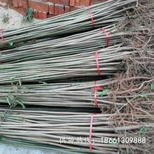 贵港市香椿苗栽培图片保姆式扶持厂家图片