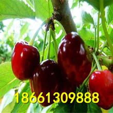 吉林市樱桃种优质高产成活率高图片