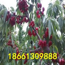 宝鸡市樱桃种种植方法图片