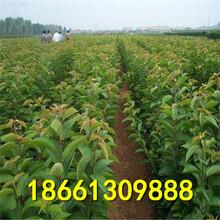 丹东市樱桃种植技术指导图片