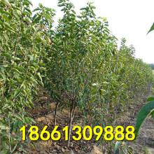 包頭市櫻桃種1棵多少價格基地圖片