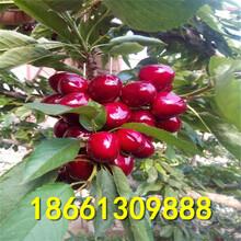 婁底市櫻桃樹優質高產成活率高圖片