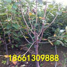 沧州市樱桃苗种价格透明图片