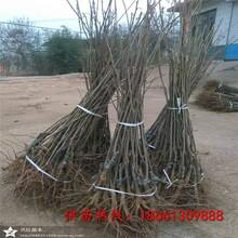 哈尔滨市板栗苗木供应种植技术指导图片