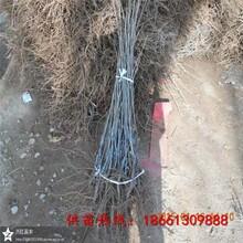 云浮市板栗苗木价格几年结果图片