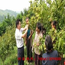 四平市板栗苗木价格优质高产成活率高图片