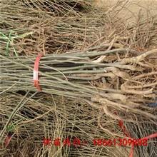 三亚市四川板栗苗品种种植示范基地图片