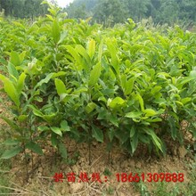 襄阳市简阳板栗苗品种种植技术指导图片