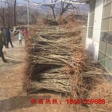 荆州市四川嫁接板栗苗批发价格透明图片