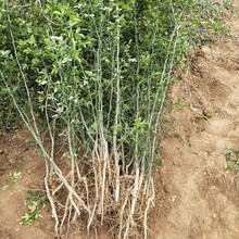 貴港市枳殼苗是什么種植方法圖片