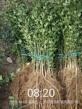泰州市提供枳殼苗哪家好幾年結果圖片