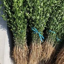 鹽城市提供枳殼苗銷售免費提供技術圖片