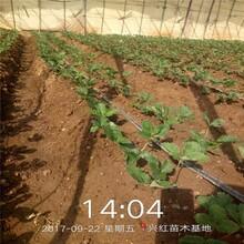 保山市草莓苗种植方法保姆式扶持图片