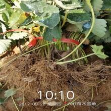 湖州市草莓苗批发价格透明图片