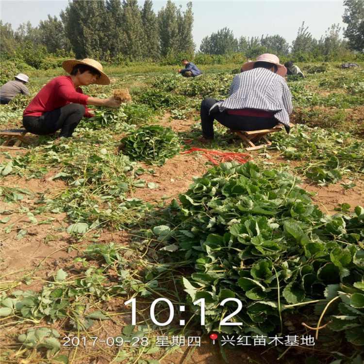 宁德市草莓苗种植时间格查询