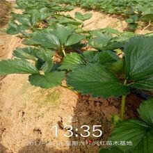 襄阳市红颜草莓苗冷藏技术100棵起售图片