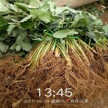 荆州市红颜草莓苗批发价格批发价格查询图片