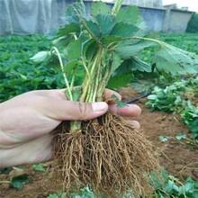 泸州市草莓苗的常见病害彩图品种纯正假一赔十图片