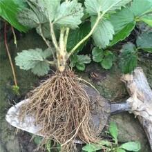 舟山市刚出土的草莓苗图片价格透明图片