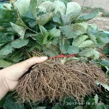 淮南市草莓苗的种植方法几年结果图片