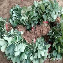 丽水市广西草莓苗批发品种多成活率高质量好图片