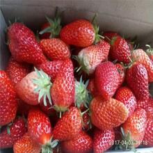 滁州市赛娃草莓苗批发100棵起售图片