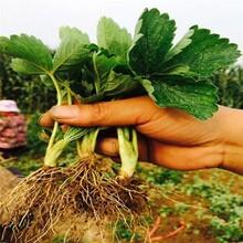 襄阳市草莓苗种植种植方法图片