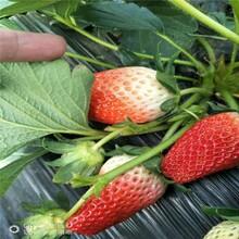 株洲市草莓苗種植技術種植方法圖片