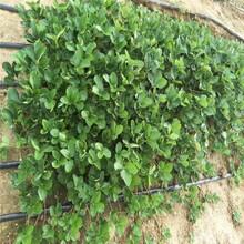 防城港市草莓苗批發100棵起售圖片