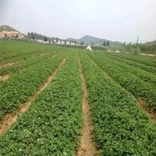 河池市草莓苗吧品种多成活率高质量好图片