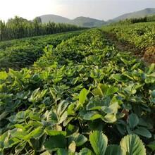 襄阳市红颜草莓苗种植示范基地图片