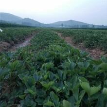 內江市草莓苗多大可以結果種植技術指導圖片