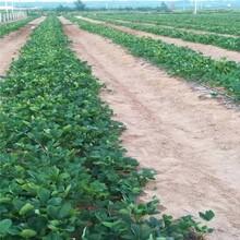岳陽市草莓苗批發100棵起售圖片