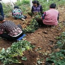 丹東市剛買的草莓苗怎么種優質高產成活率高圖片
