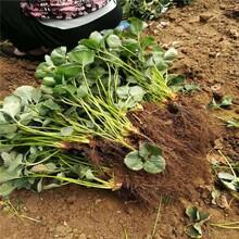 襄阳市草莓苗批发价格范围品种纯正假一赔十图片
