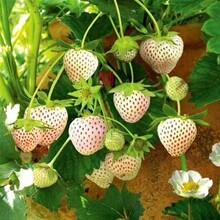 合肥市草莓苗图片大全保姆式扶持图片