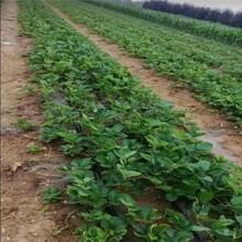 淮安市草莓苗什么時候種哪里有售圖片