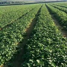朔州市牛奶草莓苗价格种植示范基地图片