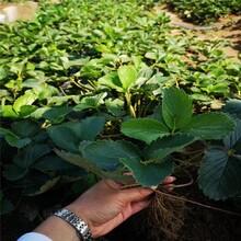 柳州市草莓苗什么时候种植100棵起售图片