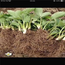 防城港市草莓苗批發價格種植技術指導圖片