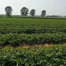 資陽市紅顏草莓苗批發價格批發價格查詢圖片