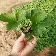 大理红颜草莓苗种植技术品种纯正假一赔十图片