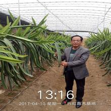 三明市火龍果種植圖片