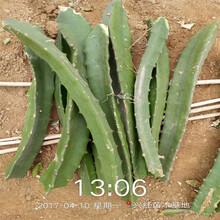 海西紅心火龍果苗種苗圖片