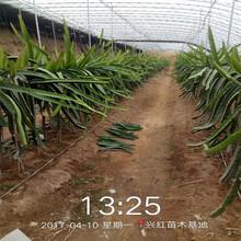南昌市火龍果苗盆栽圖片