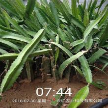 丽江市火龙果苗多少钱图片