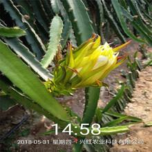 錦州市盆栽火龍果圖片圖片